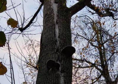 arbres fragilisés, champignons, fissures, penchant dangereux
